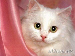 صور قطط جميلة خلفيات قطط روعة اجمل قطط حلوة للخلفيات 2019 00432 300x225 صور قطط جميلة خلفيات قطط روعة اجمل قطط حلوة للخلفيات 2019