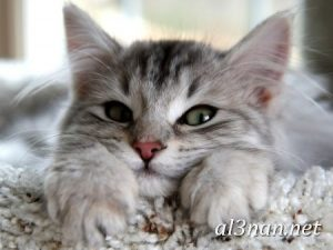 صور قطط جميلة خلفيات قطط روعة اجمل قطط حلوة للخلفيات 2019 00465 300x225 صور قطط جميلة خلفيات قطط روعة اجمل قطط حلوة للخلفيات 2019