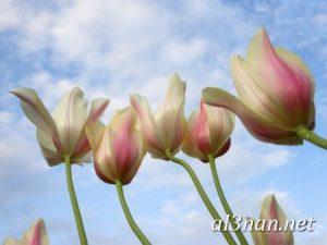 صور-ورد-2019-hd-احلي-الوان-ورد-باقات-زهور-جميلة_00375-300x225 صور ورد طبيعي, صور ورد ابيض, صور ورد جوري احمر, صور ورد جوري