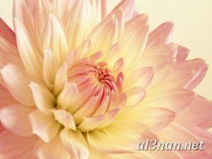 صور-ورد-2019-hd-احلي-الوان-ورد-باقات-زهور-جميلة_00377-300x225 صور ورد طبيعي, صور ورد ابيض, صور ورد جوري احمر, صور ورد جوري