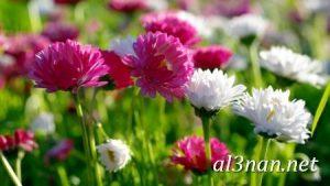 صور-ورد-2019-hd-احلي-الوان-ورد-باقات-زهور-جميلة_00378-300x169 صور ورد طبيعي, صور ورد ابيض, صور ورد جوري احمر, صور ورد جوري