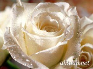 صور-ورد-2019-hd-احلي-الوان-ورد-باقات-زهور-جميلة_00384-300x225 صور ورد طبيعي, صور ورد ابيض, صور ورد جوري احمر, صور ورد جوري