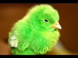 10 1 صور دجاج رمزيات و خلفيات فراخ بانواعها