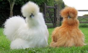 11-1 صور دجاج رمزيات و خلفيات فراخ بانواعها