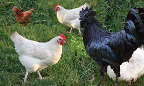 3-3 صور دجاج رمزيات و خلفيات فراخ بانواعها