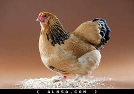 6-2 صور دجاج رمزيات و خلفيات فراخ بانواعها