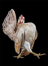 7 1 صور دجاج رمزيات و خلفيات فراخ بانواعها