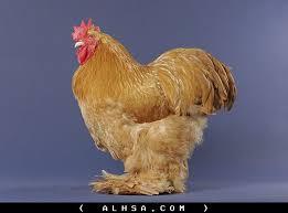 8-2 صور دجاج رمزيات و خلفيات فراخ بانواعها